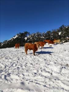 Campo con nieve y vacas